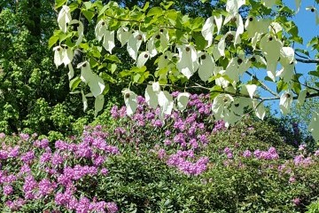 Hollycombes_Handkerchief_Tree.jpg