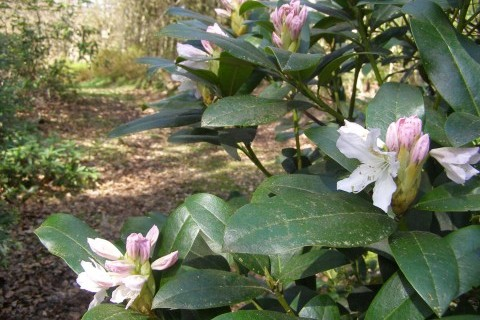 Rhododendron in the Hollycombe gardens