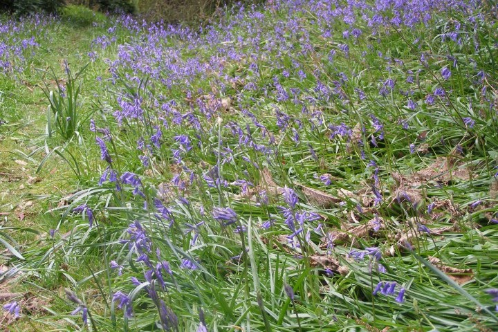 Carpets of bluebells