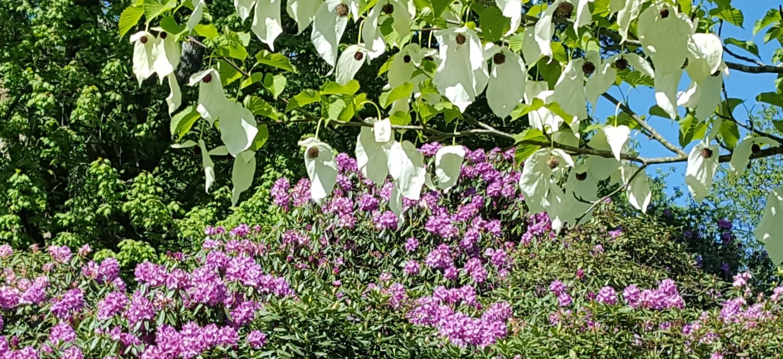 Hollycombes_Handkerchief_Tree.jpg